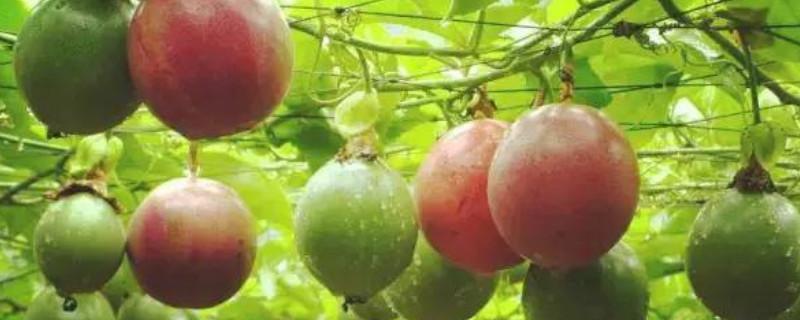 百香果的藤可以过冬存活吗
