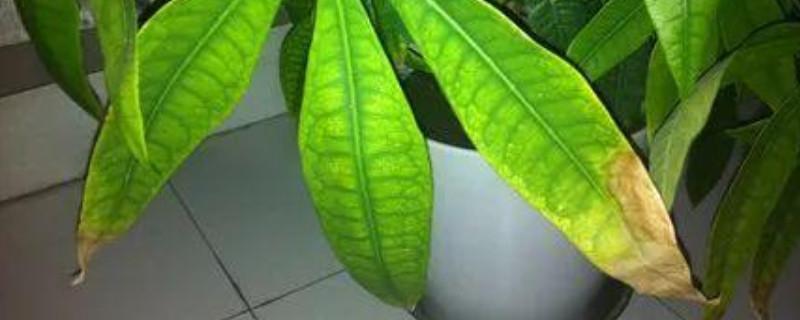 发财树冬季叶子发黄脱落怎样挽救