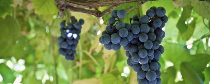 黑皇葡萄品种介绍