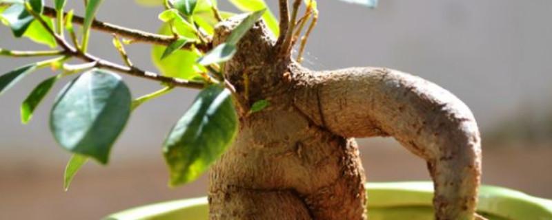 哪种树的种子不进入土壤就可以萌发生根