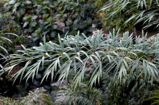 铁树有几种