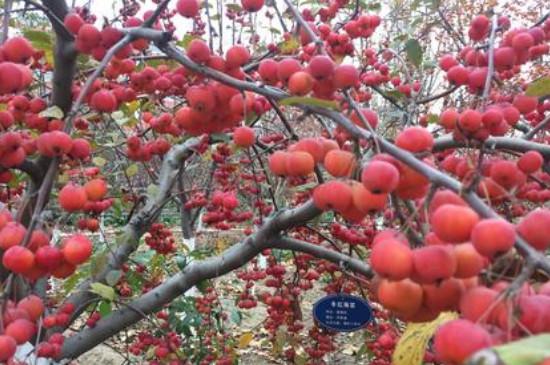 冬红果海棠的养殖方法和注意事项