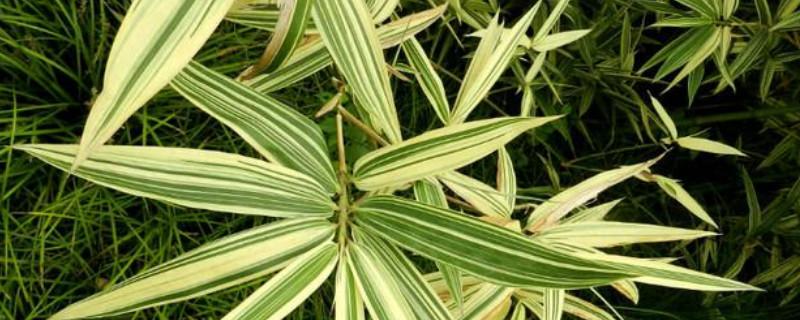 不超过2米高的竹子品种