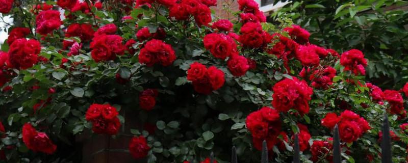 甜蜜红木香的养殖方法和注意事项