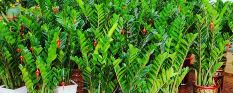 金钱树冬季的养殖方法和注意事项
