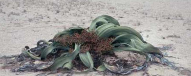 百岁兰是什么植物