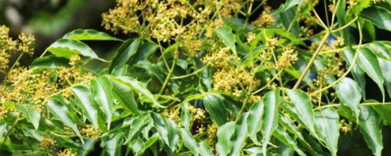 黄柏树是珍贵树木吗