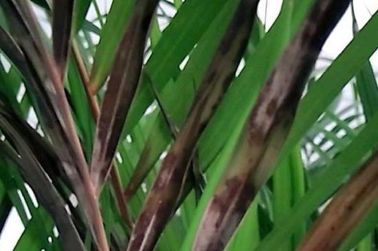 散尾葵叶子发黄怎么回事