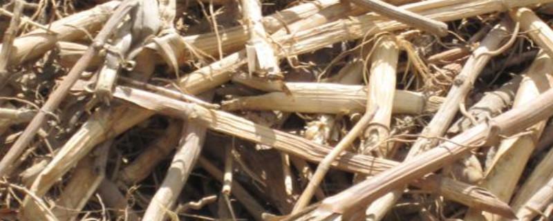 芦根是什么植物的根