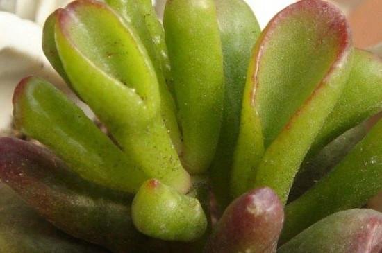 筒叶花月的养殖方法