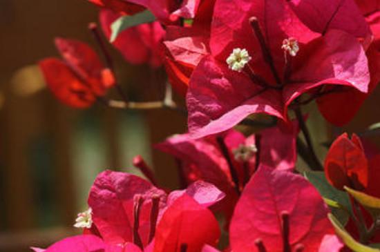 光叶子花怎么繁殖