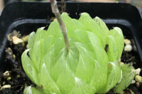 樱水晶的养殖方法