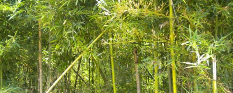 绿竹叶子黄了是什么原因