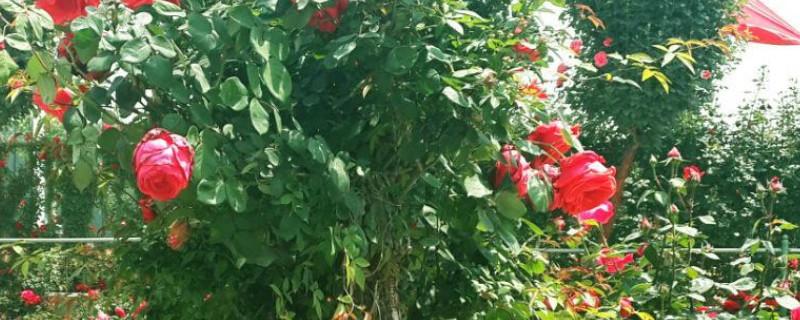 盆栽月季零下多少度会冻死