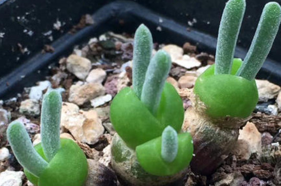 碧光環的養殖方法