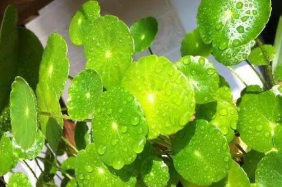 硫酸亚铁对花卉的作用