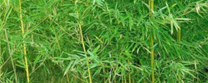 家里为什么不能养竹子
