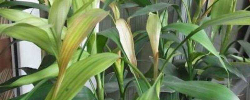冬天富貴竹葉子發黃怎么辦水養