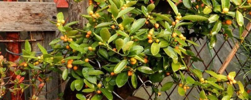 金豆盆景是什么植物