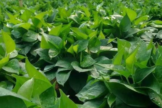 哪种植物具有吸收甲醛的功能