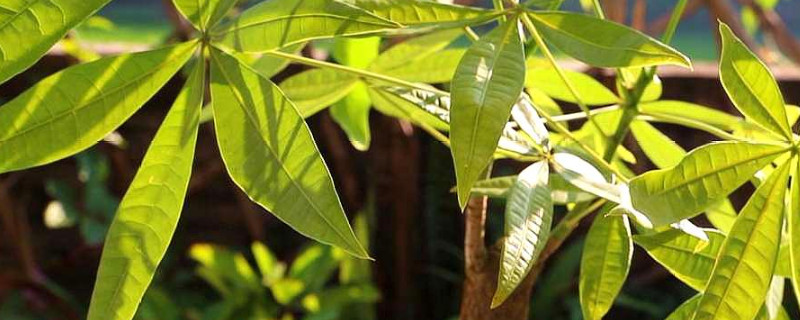 發財樹葉子發黃怎么補救
