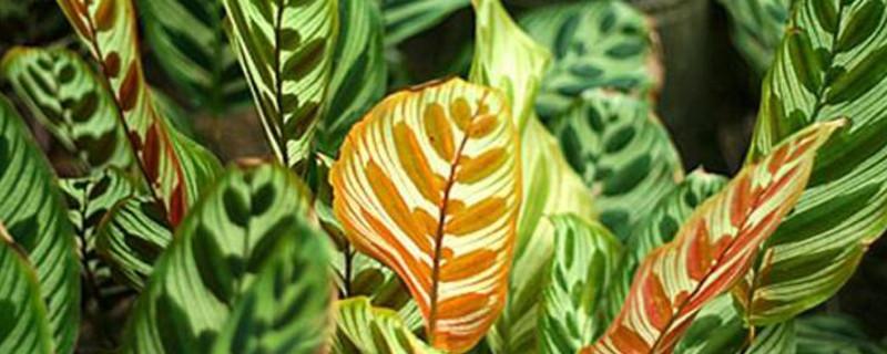 新飞羽竹芋的养殖方法和注意事项