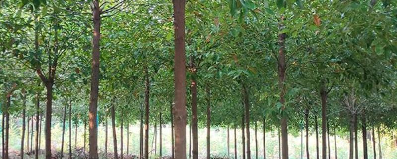 桂花树木质适合做什么