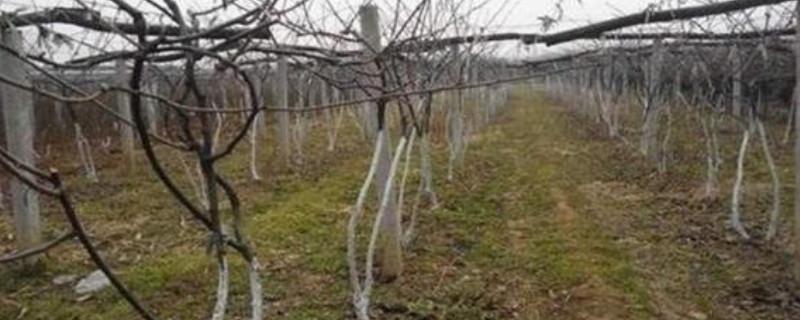 猕猴桃树零下20度能冻死吗