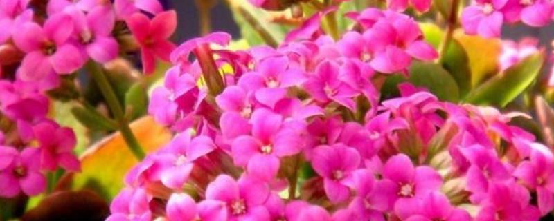 长寿花寓意及花语