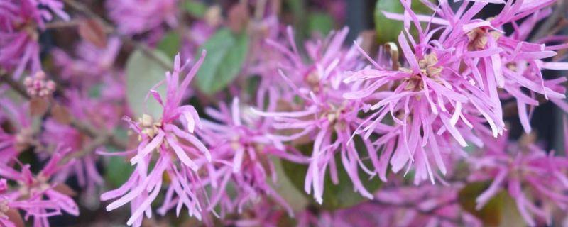 红花檵木怎么修剪
