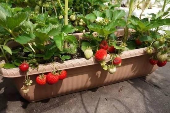 草莓养殖方法和注意事项盆栽