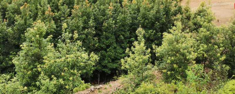 金丝楠木生长周期