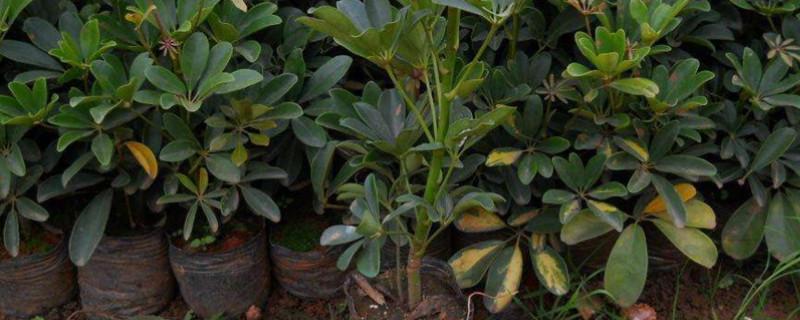 鹅掌木养殖方法和注意事项为什么会掉叶子
