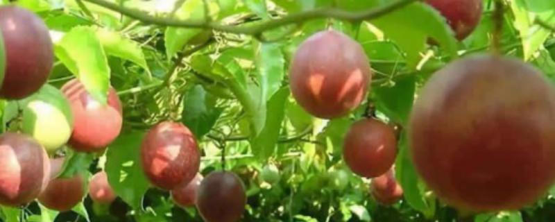 百香果籽的播种方法