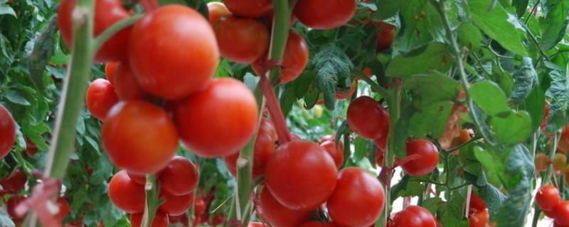 种番茄的方法和步骤