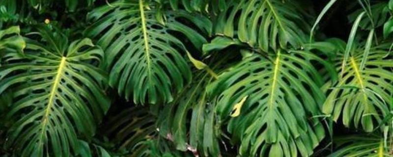 龜背竹冬季的養殖方法和注意事項