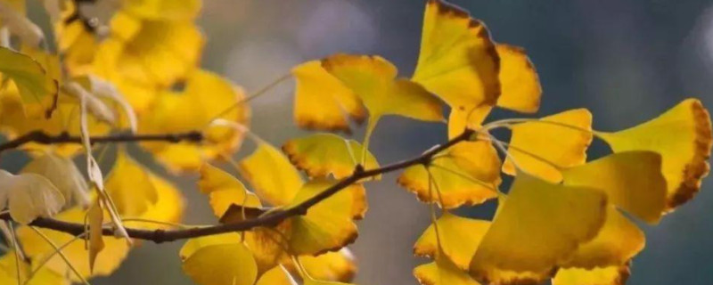 最古老的樹是什么樹是銀杏還是榕樹
