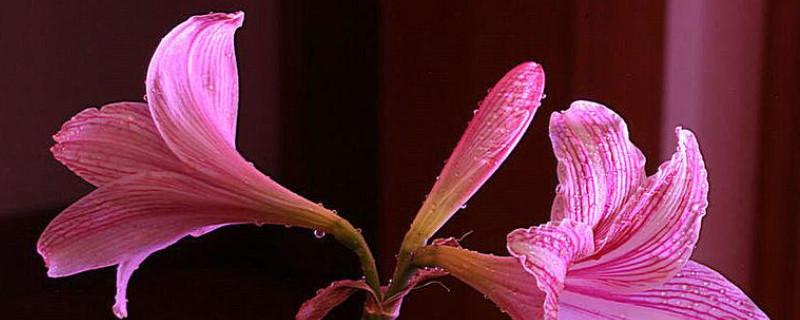 对红冬天怎么养才能让它开花