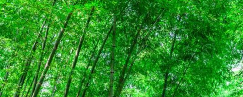 竹子是什么类型的植物