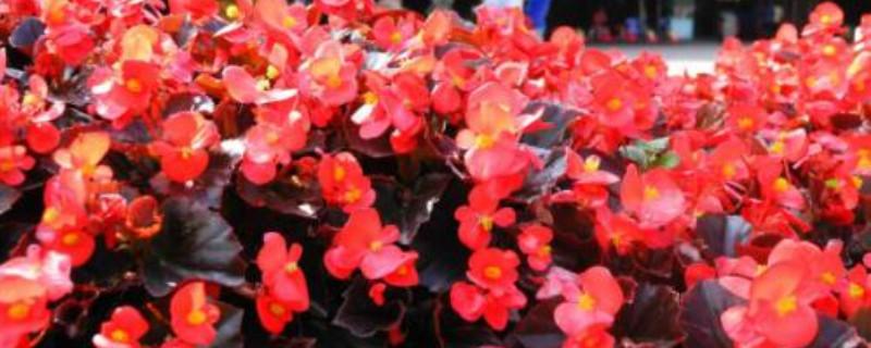 四季海棠冬天會不會凍死