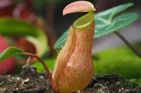 吃虫子的植物