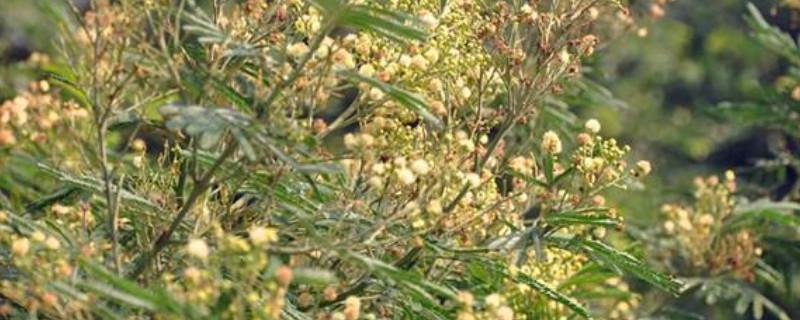 黑荆树和银荆树的区别
