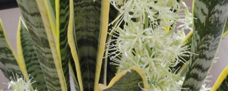 虎皮兰开花的寓意和象征