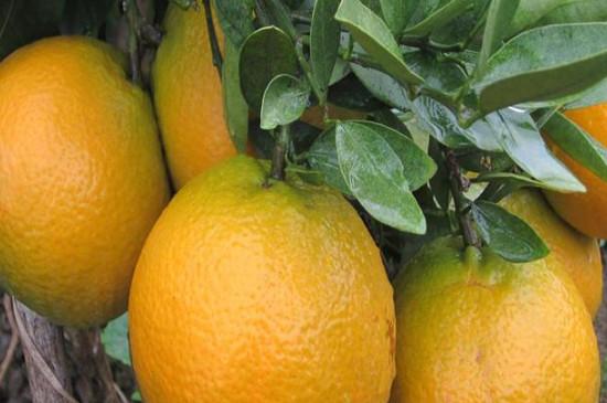橘子樹怎么養殖方法及注意事項