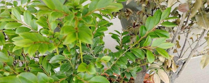 小葉紫檀葉子枯萎脫落后還會再長嗎
