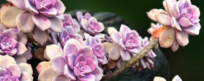 紫樂葉子變軟起皺怎么回事