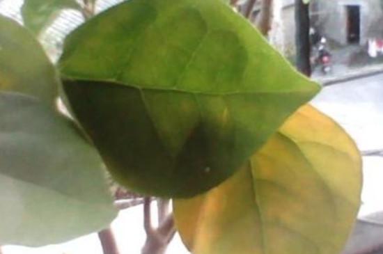 綠籮為什么發黃發蔫