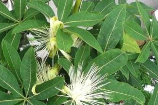 發財樹的養殖方法和注意事項冬季