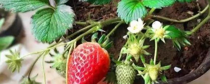 草莓水浇多了的表现