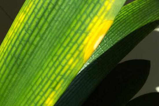 君子蘭葉子發黃是什么原因怎么處理
